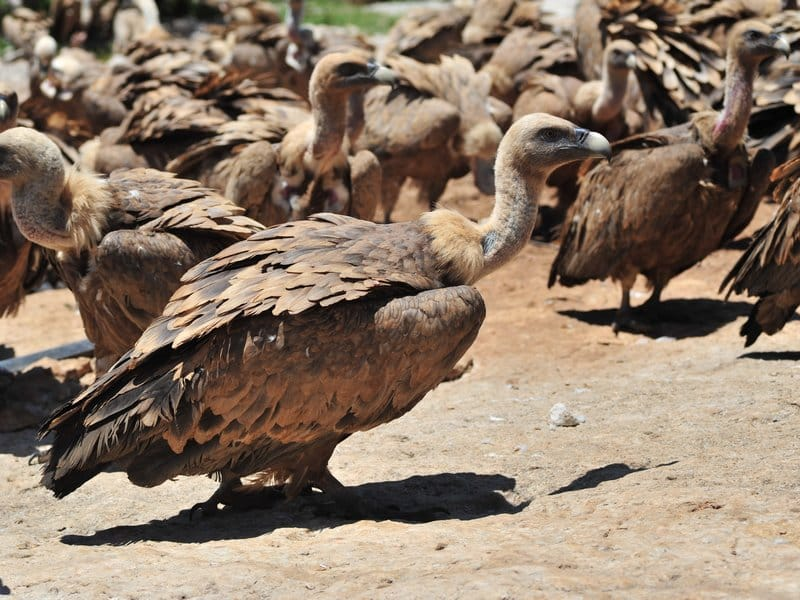 Vultures (1)