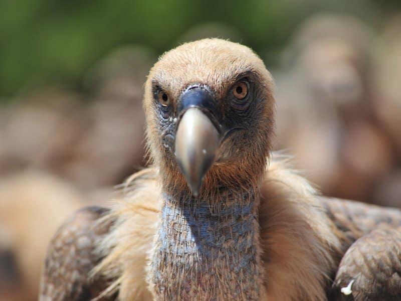 Vultures (2)