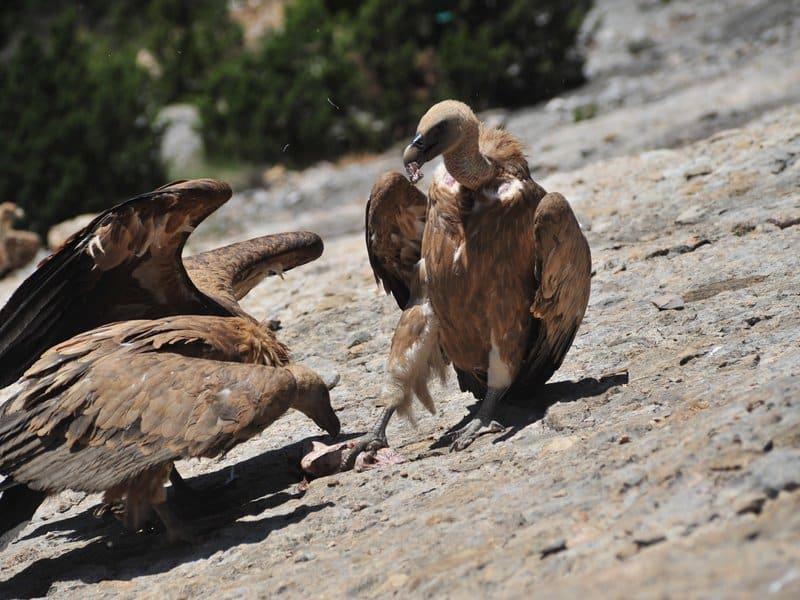 Vultures (8)