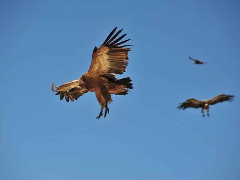 Vultures (9)